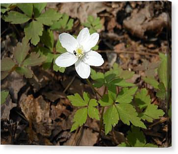 Canvas Print featuring the photograph Wood Anemone by Linda Geiger