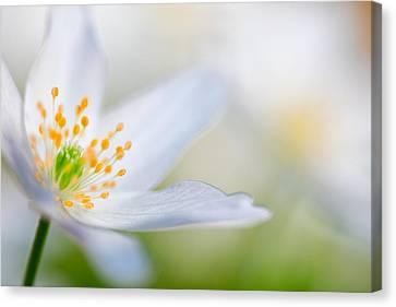 Wood Anemone Spring Flower Detail Canvas Print by Dirk Ercken