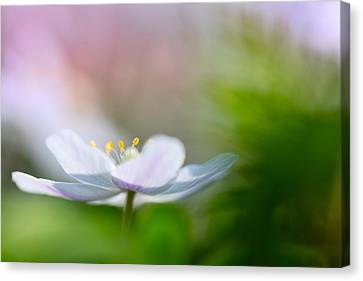 Wood Anemone Wild Flower Floating In Green Canvas Print by Dirk Ercken