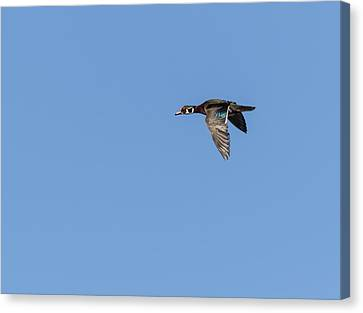 Wood Duck 2017-1 Canvas Print by Thomas Young