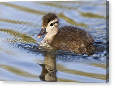 Wood Duck Duckling Swimming Santa Cruz Canvas Print by Sebastian Kennerknecht