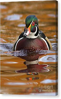 Wood-duck-male On The Golden Light Canvas Print by Mircea Costina Photography