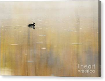 Wood Duck On Golden Pond Canvas Print