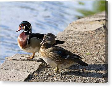 Wood Duck Pair By The Lake Canvas Print by David Gn