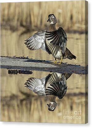 Canvas Print featuring the photograph Wood Duck Reflection by Mircea Costina Photography