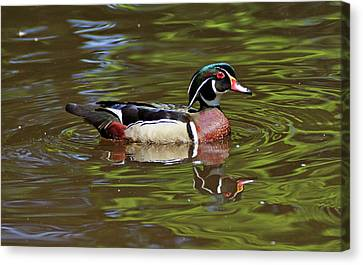 Canvas Print featuring the photograph Wood Duck by Sandy Keeton