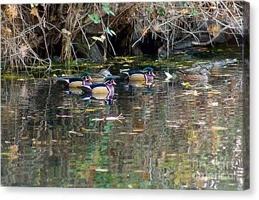 Wood Ducks In Autumn Canvas Print by Sean Griffin
