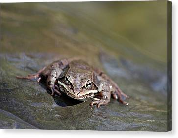 Canvas Print featuring the photograph Wood Frog Close Up by Christina Rollo