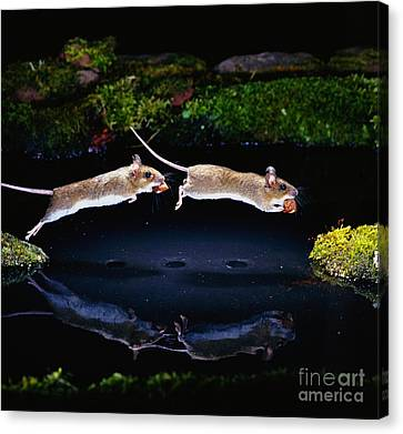 Wood Mouse Jumping Canvas Print