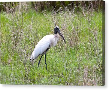 Wood Stork In The Marsh Canvas Print by Carol Groenen