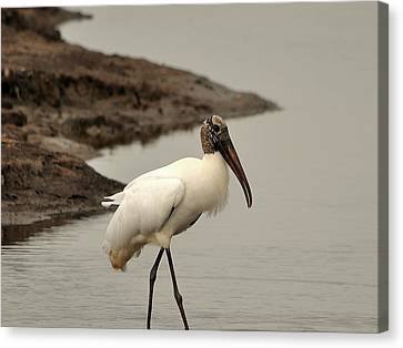 Wood Stork Walking Canvas Print by Al Powell Photography USA