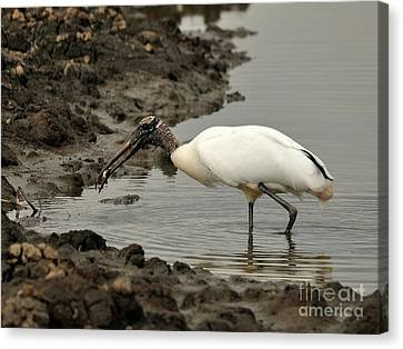 Wood Stork With Fish Canvas Print by Al Powell Photography USA