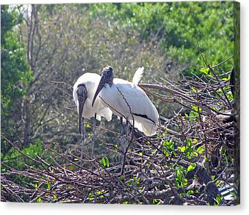 Wood Storks Canvas Print by Martha Ayotte