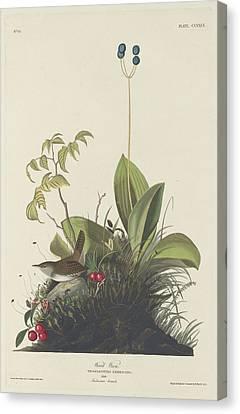 Wood Wren Canvas Print by Rob Dreyer