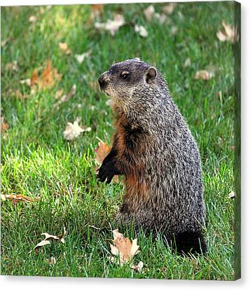 Woodchuck Canvas Print by Rosanne Jordan