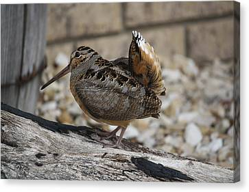 Canvas Print featuring the photograph Woodcock by Donna  Smith