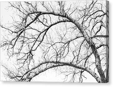 Solid Canvas Print - Wooden Arteries by Az Jackson
