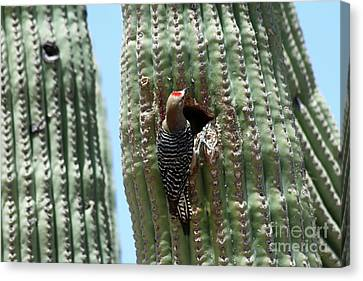 Ladderback Canvas Print - Woodpecker At The Nesting Hole by Christiane Schulze Art And Photography