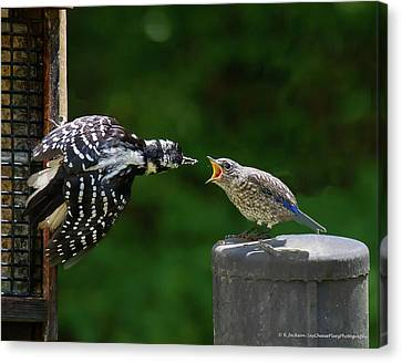 Woodpecker Feeding Bluebird Canvas Print by Robert L Jackson