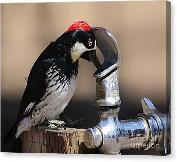 Woody And The Water Fountain Canvas Print by Wingsdomain Art and Photography