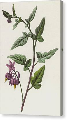 Woody Nightshade Canvas Print by Frederick Edward Hulme