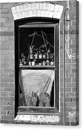 Woolloomolloo Window With Cats Canvas Print by Barry Culling