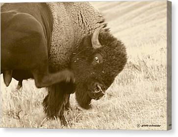 Giselaschneider Canvas Print - Woolly Itch ... Montana Art Photo by GiselaSchneider MontanaArtist