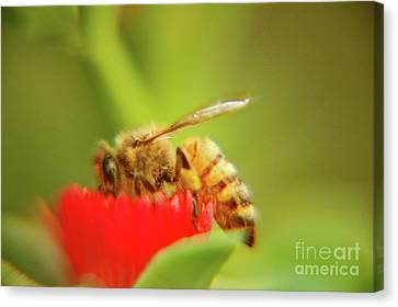 Canvas Print featuring the photograph Worker Bee by Micah May