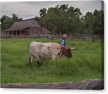 Working Farm Oxen Canvas Print
