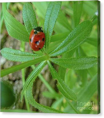 World Of Ladybug 3 Canvas Print by Jean Bernard Roussilhe