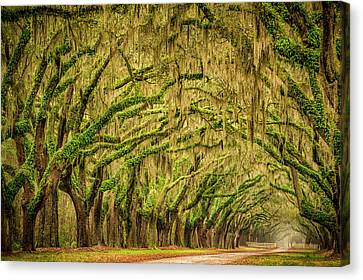 Wormsloe Drive Canvas Print by Phyllis Peterson
