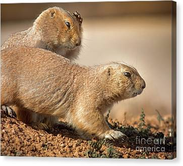 Canvas Print featuring the photograph Worried Prairie Dog by Robert Frederick