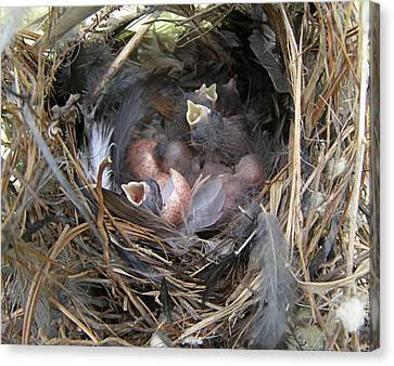 Canvas Print featuring the photograph Wren Babies by Angie Rea