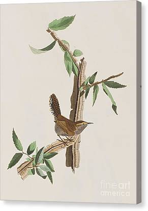 Wren Canvas Print - Wren by John James Audubon