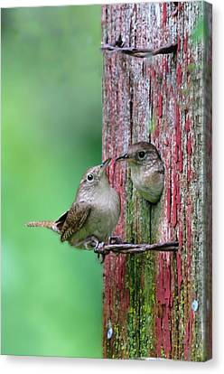 Canvas Print featuring the photograph Wrens by John Hix