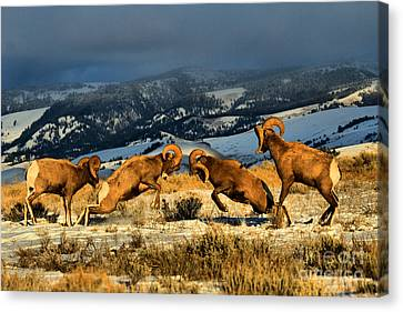 Wyoming Bighorn Brawl Canvas Print by Adam Jewell