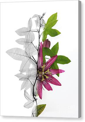 X-ray Of A Passion Flower Canvas Print by Ted Kinsman