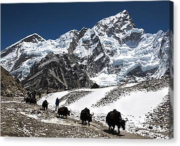 Yaks In The Himalayas Canvas Print by Laura Szanto