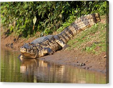 Alligator Crawling Into Yakuma River Canvas Print