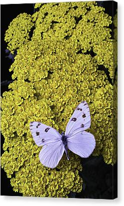 Yarrow With White Butterfly Canvas Print by Garry Gay