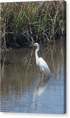 Yawkey Wildlife Refuge - Great White Egret II Canvas Print by Suzanne Gaff