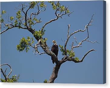 Yawkey Wildlife Reguge - American Bald Eagle Canvas Print by Suzanne Gaff