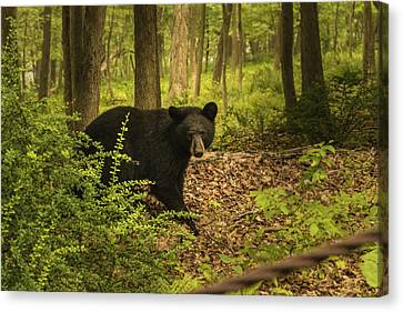 Yearling Black Bear Canvas Print