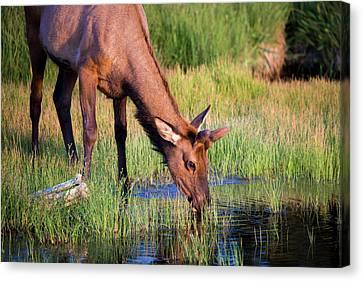 Yearling Elk Canvas Print by Dan Pearce