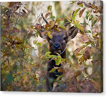 Canvas Print featuring the photograph Yearling Elk Peeking Through Brush by Michael Dougherty