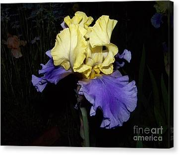 Yellow And Blue Iris Canvas Print by Kathy McClure