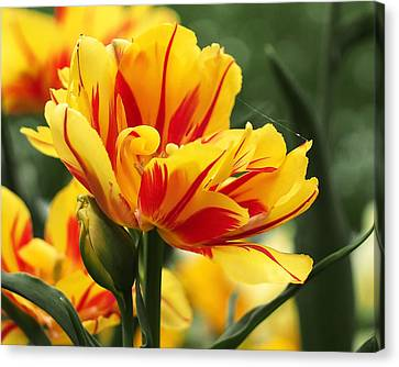 Yellow And Red Triumph Tulips Canvas Print by Rona Black