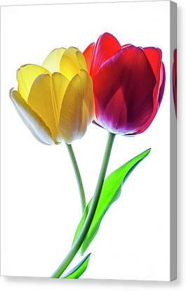 Yellow And Red Tulips On White Canvas Print by Vishwanath Bhat