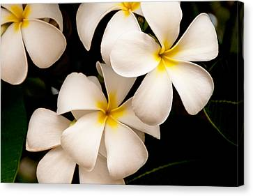 Black And Yellow Canvas Print - Yellow And White Plumeria by Brian Harig