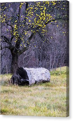 Yellow Apples Canvas Print by Tom Singleton